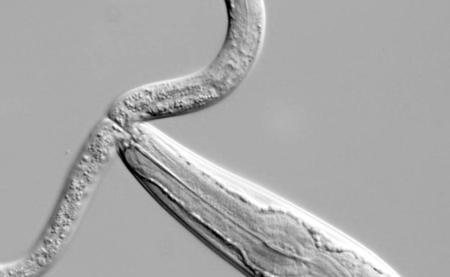 Pristionchus pacificus can prey on other worms if bacteria get scarce. Here Caenorhabditis elegans is the prey. Picture: MPI for Developmental Biology