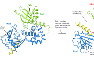 Structure of the decapping complex, determined by X-ray crystallography. Stabilized by Dcp1 and Edc1 the catalytic subunit of Dcp2 undergoes a 120° rotation. The interaction of the three proteins causes the enzyme to adopt an active state that allows an efficient decapping of the mRNA. Eugene Valkov/ Max-Planck-Institute for Developmental Biology