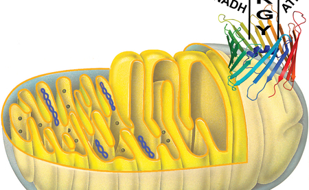 Structure of an essential transport channel in the power stations of our cells - the mitochondria. Picture: Structure: Zweckstetter, MPIbpc, Mitochondria: Linder Biologie, 22. Auflage; with the friendly allowance of the Schroedel-Verlages.