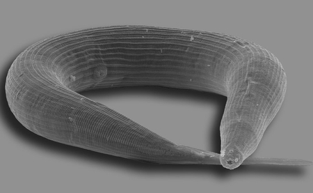 Pristionchus nematode. Photo: Jürgen Berger/Max Planck Institute for Developmental Biology.